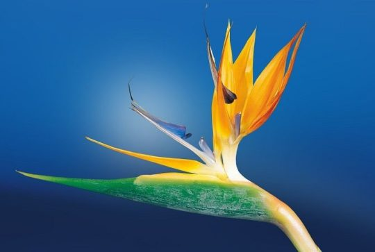 oiseau du paradis fleur exotique